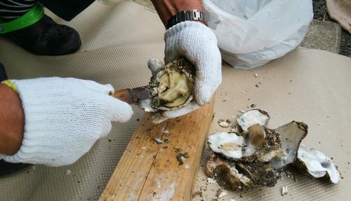 牡蠣を貝から外すのに苦戦中です