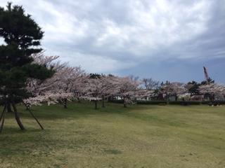 酒田市 日和山公園は桜満開です・・・